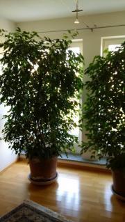 2 große Ficus