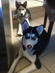 2 Husky zu