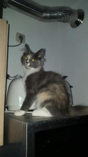 2 Maine Coon
