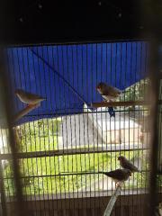 2 Zabrafinken-Pärchen