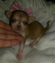 5 Chihuahua Rüden