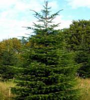 acht weihnachtsbäume tanne `
