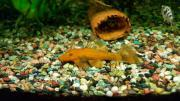 Antennenwelse rotgold 7cm