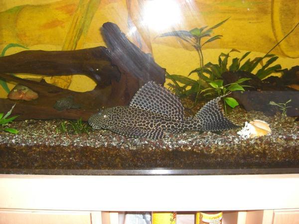 aquarium komplett mit unterschrank birke in neufahrn. Black Bedroom Furniture Sets. Home Design Ideas