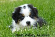 Australian Shepherd Rüde