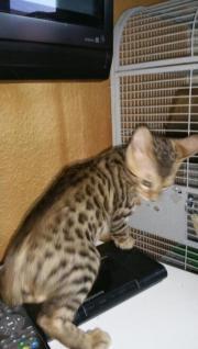 bengalkatzen aus seriöser
