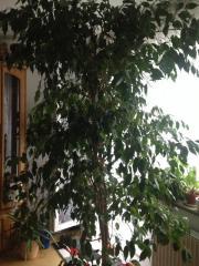 Birkenfeige- Ficus Benjamini