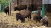 Bison-Bullen