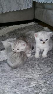 BKH Kitten Spottet