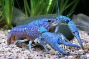 Blauer Floridakrebs