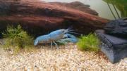 Blauer Floridakrebs - Procambarus