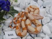 Boa constrictor NZ