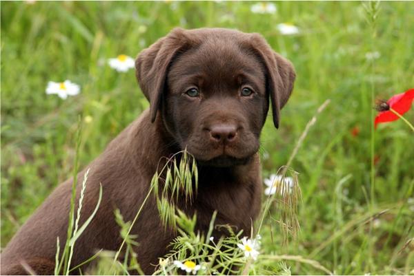 Brauner Labrador Kaufen