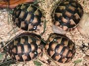Breitrandschildkröten Testudo marginata
