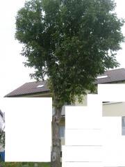 Brennholz-günstig- Wallnussbaum