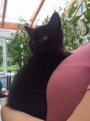 Britisch Kurzhaarige Katzenbabys
