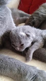 Chartreux/Kartäuser Katzenbaby