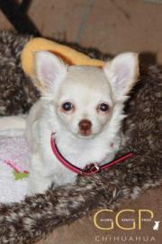 Chihuahua, cremefarben