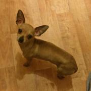 Chihuahua reinrassig/Rüde