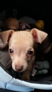 Chihuahua Rüde beige