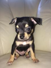 Chihuahua Welpe reinrassig