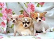 Chihuahua Welpen!!!