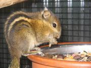 Chinesische Streifenbaumhörnchen