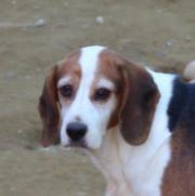 Dani-NOTFALL, Beagle,