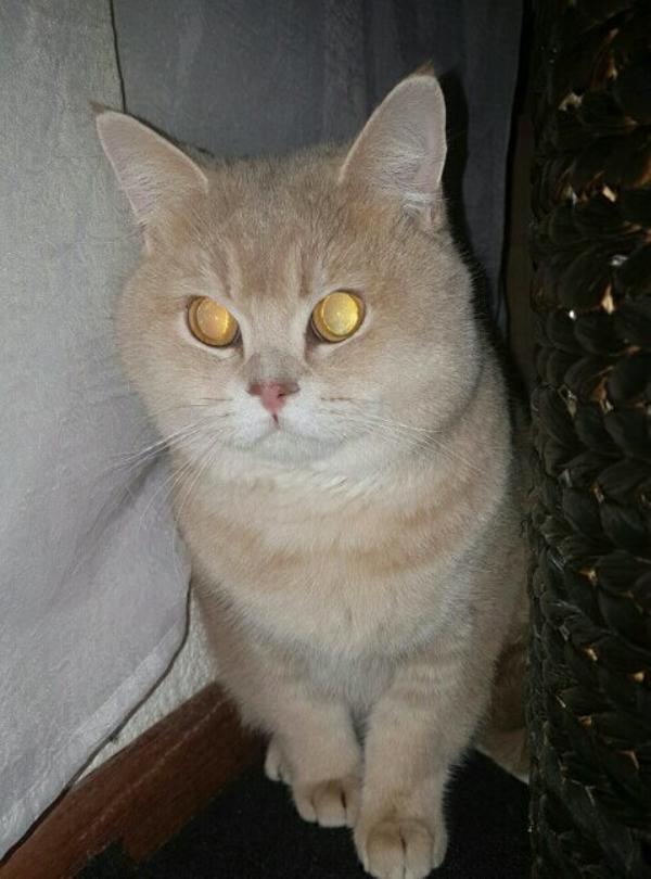 Deckkater Britisch Kurzhaar In Scheibenhardt Katzen