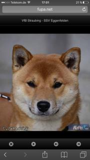 Deckrüde Shiba Inu