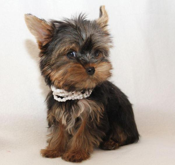 Low Maintenance Small Dog Breeds