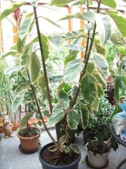 Ficus Gummibaum