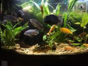 Fische Barsch