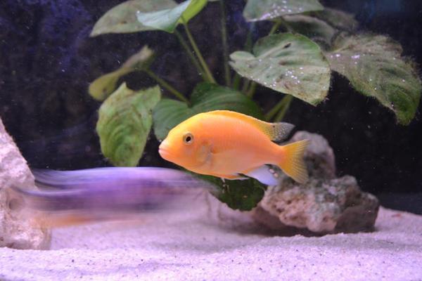 fische barsche malawi yellow yellow in hochspeyer fische aquaristik kaufen und verkaufen. Black Bedroom Furniture Sets. Home Design Ideas