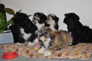 Fröhliche Tibet Terrier