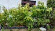 Gartenbambus Fragesia Murieliae