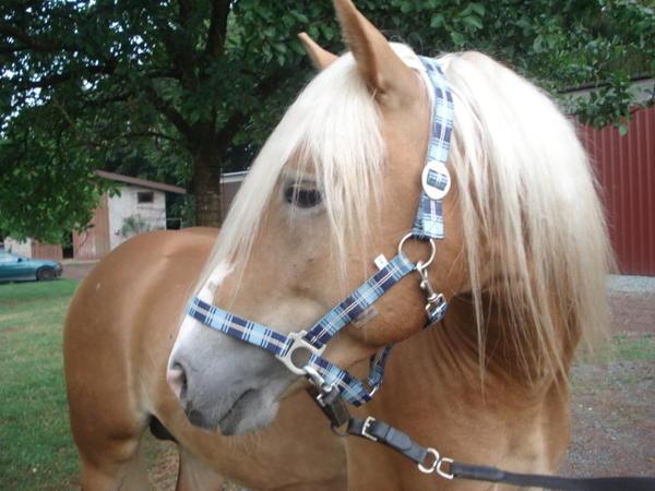gesucht wird haflinger askan in bann pferde kaufen und. Black Bedroom Furniture Sets. Home Design Ideas