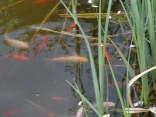 Goldfische kleinanzeigen tiermarkt deine for Kleine teichfische
