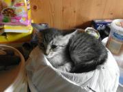 graue Kätzchen