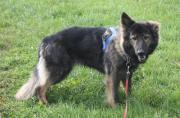 grauer Langstockhaar-Schäferhund,