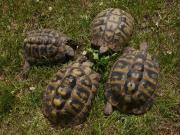 Griechisch Landschildkröten aus