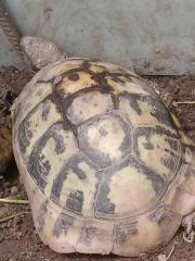 Griechische landschildkröte in