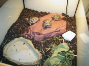 Griechische Landschildkröten - Nachzuchten