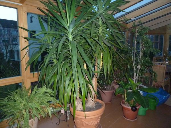 gro e yuccapalme in f rth pflanzen kaufen und verkaufen. Black Bedroom Furniture Sets. Home Design Ideas