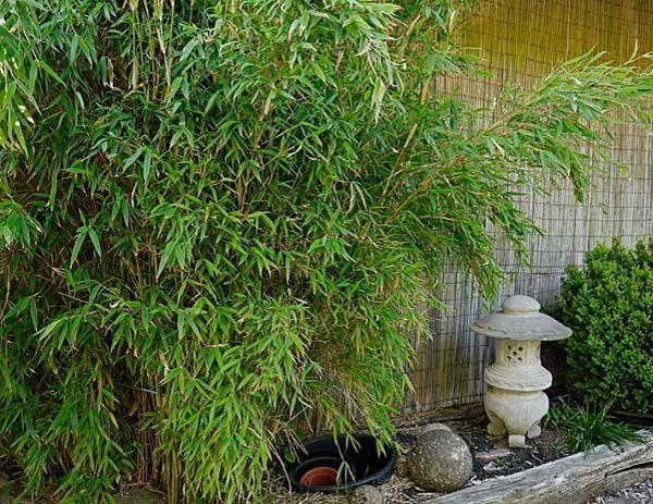 g nstig sehr sch ner bambus abzugeben in lauf. Black Bedroom Furniture Sets. Home Design Ideas