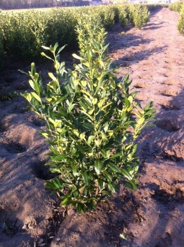 Heckenpflanzen kirschlorbeer eibe taxus glanzmispel thuja in wegberg pflanzen kaufen - Heckenpflanzen bilder ...