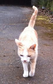 Hellbraune/weiße Katze