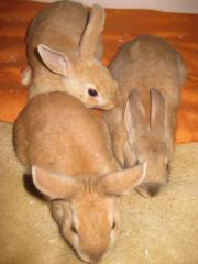 Kaninchen abzugeben, 3x