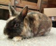 Kaninchen ZwergKaninchen Hasen
