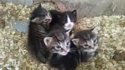 Katzenbabys zu verkaufen